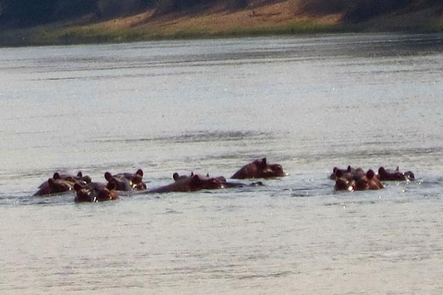 There was a river glistening in the evening sunlight and I could see the hippos' heads appearing out of the water.